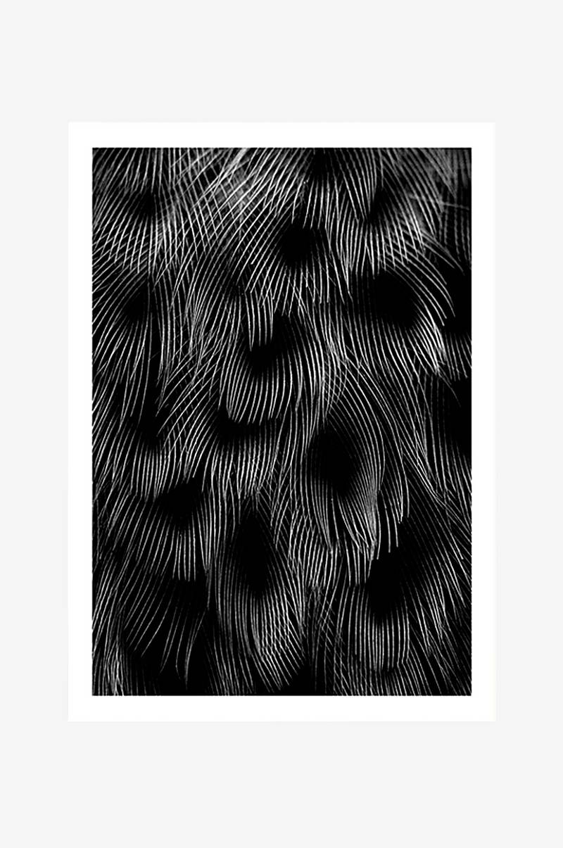 Plakat Black Feathers 50x70