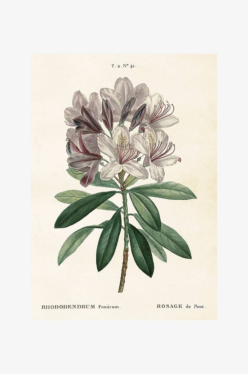 Plakat Rhododendron 35x50 cm