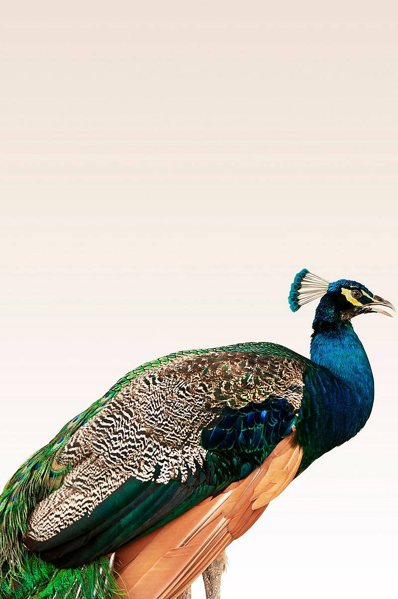 Plakat Peacock On Beige