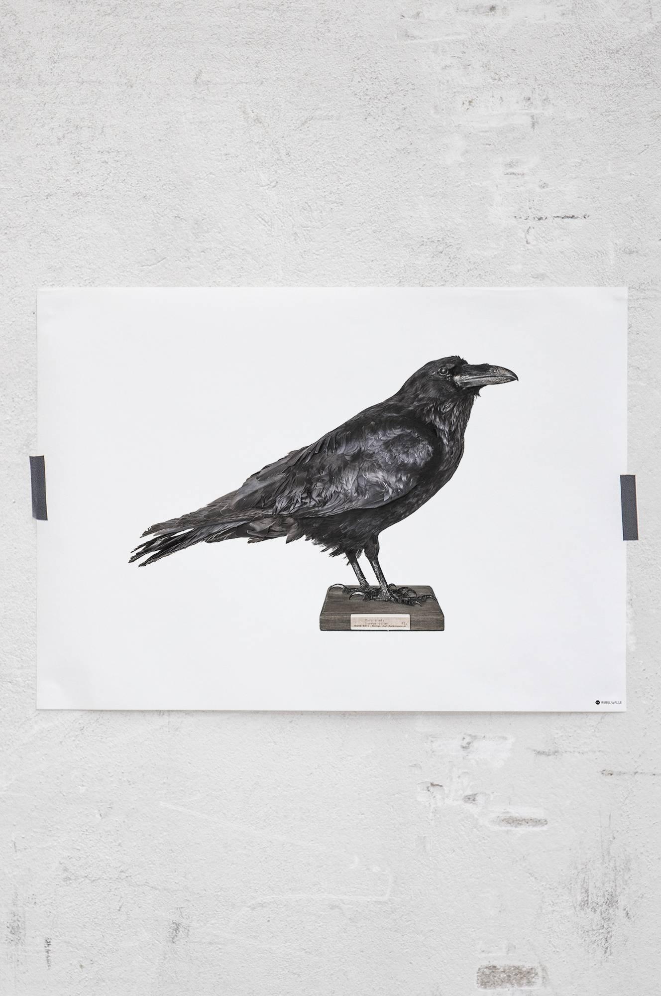 Curious Raven -juliste 70x50 cm