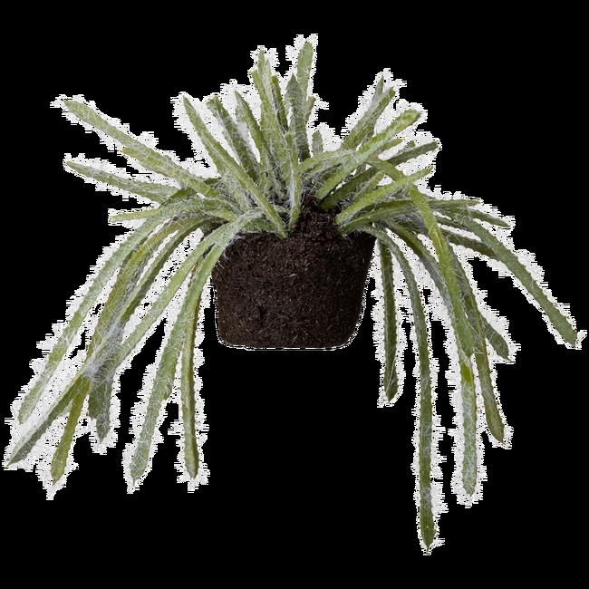 Bilde av Flora sukkulent 15 cm.