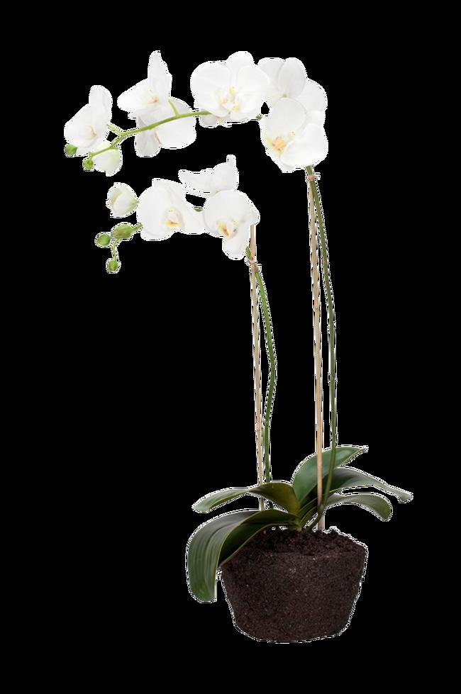 Bilde av Flora orkidé