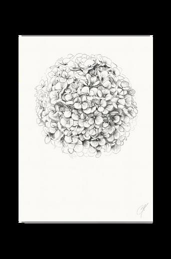 Hydrangea-juliste 50 x 70