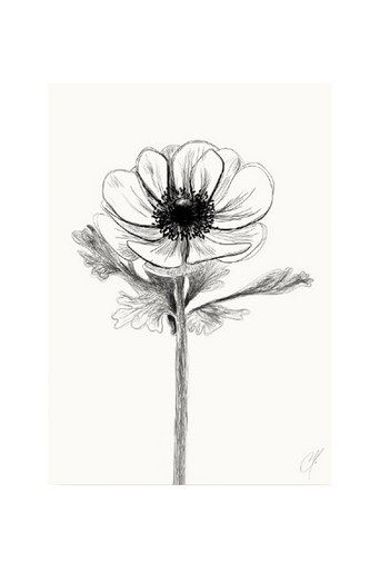 Anemone-juliste 50 x 70