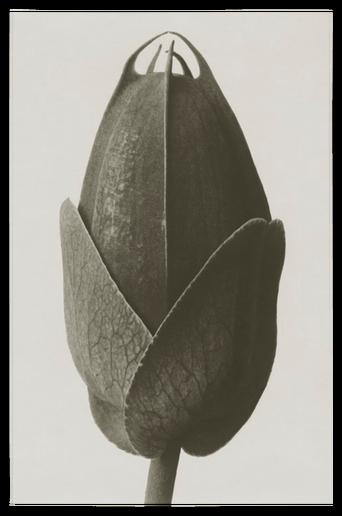 Cosmos bipinnatus juliste 30x40 cm