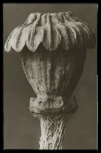Papaver orientale juliste 30x40 cm