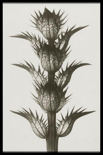 Acanthus mollis juliste 18x24 cm