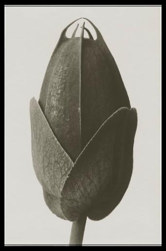 Cosmos bipinnatus juliste 70x100 cm