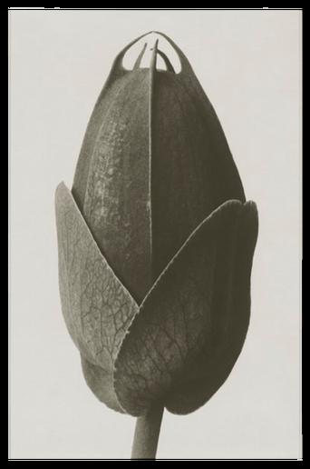 Cosmos bipinnatus juliste 18x24 cm