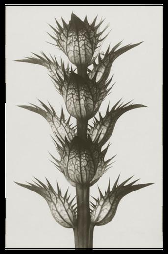 Acanthus mollis juliste 50x70 cm