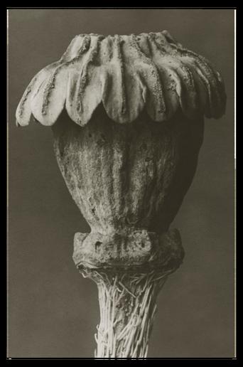 Papaver orientale juliste 50x70 cm