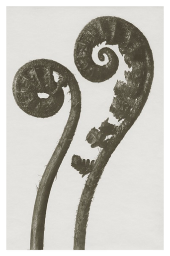 Dryopteris filix juliste 18x24 cm