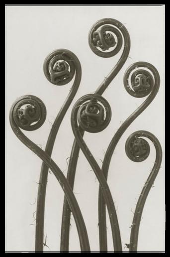 Adiantum pedatum juliste 50x70 cm