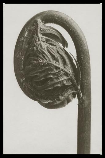 Osmunda regalis juliste 30x40 cm