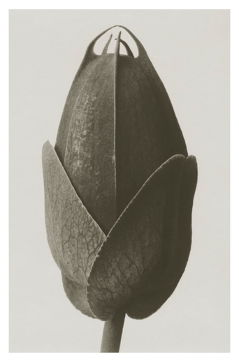 Cosmos bipinnatus juliste 50x70 cm