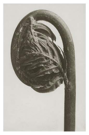 Osmunda regalis juliste 18x24 cm