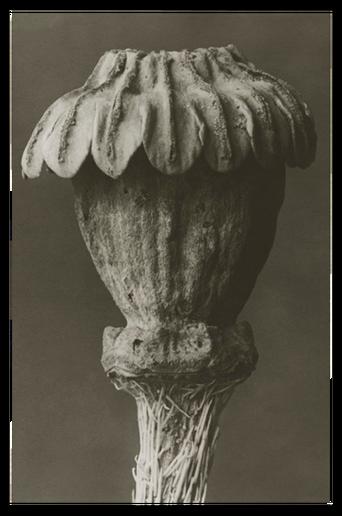 Papaver orientale juliste 18x24 cm