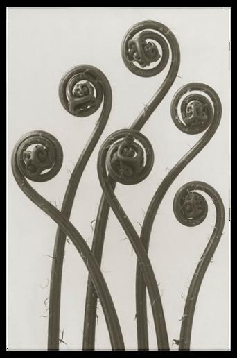 Adiantum pedatum juliste 30x40 cm