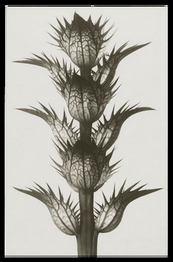 Acanthus mollis juliste 30x40 cm