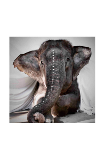 Juliste Elephant Adele 50x50 cm