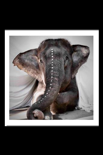 Juliste Elephant Adele 100x100