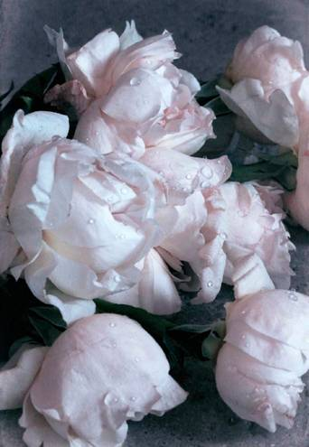 Juliste Crispy roses poster 50x70
