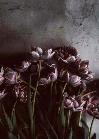 Juliste Dark tulips