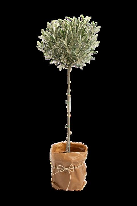 Olivträd på stam XL