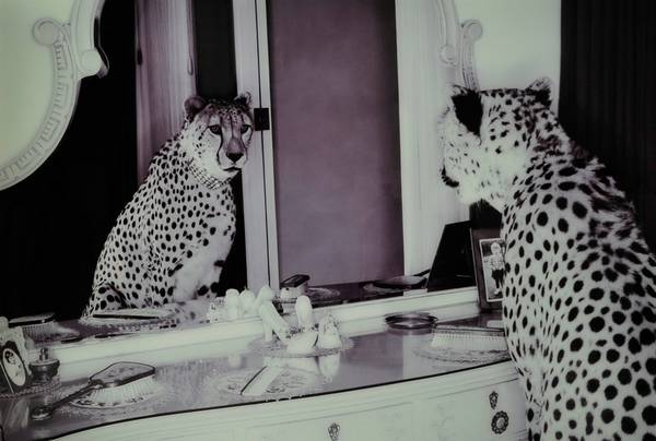Bilde av Bilde Cheeta - 30151