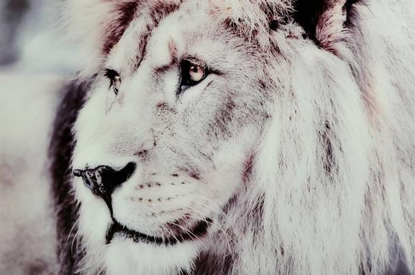 Bilde av Bilde Lion - 30151